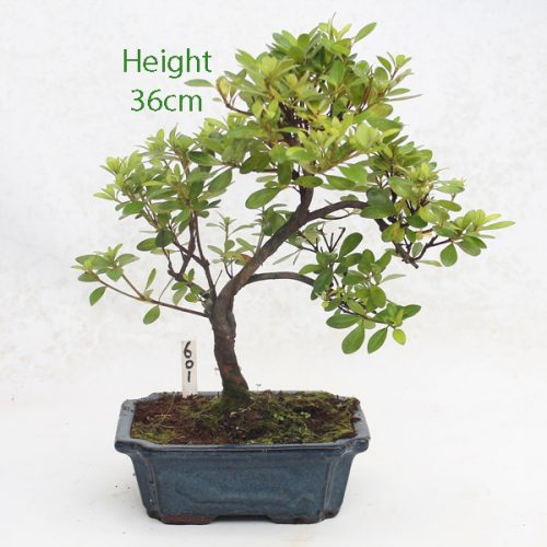 Azalea Flowering Bonsai Tree Number 601 available to buy online from All Things Bonsai Sheffield Yorkshire with free UK delivery