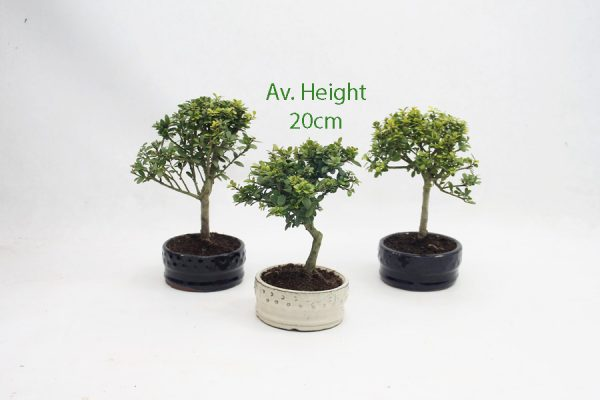 Japanese Holly Flowering Bonsai Tree Small Round Pot available to buy online from All Things Bonsai Sheffield Yorkshire with free UK delivery