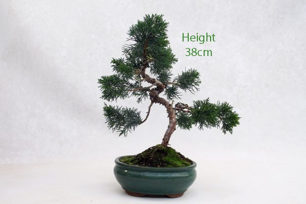 Chinese Juniper Bonsai Tree Number 237 on