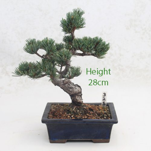 Japanese White Pine Bonsai Tree Number 325 available to buy online from All Things Bonsai Sheffield Yorkshire with free UK delivery