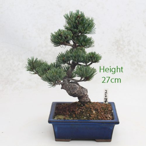 Japanese White Pine Bonsai Tree Number 227 available to buy online from All Things Bonsai Sheffield Yorkshire with free UK delivery