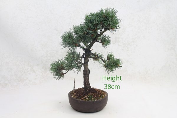 Japanese White Pine Bonsai Tree Number 512 available to buy online from All Things Bonsai Sheffield Yorkshire with free UK delivery