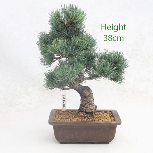Japanese White Pine Bonsai Tree Number 278 available to buy online from All Things Bonsai Sheffield Yorkshire with free UK delivery