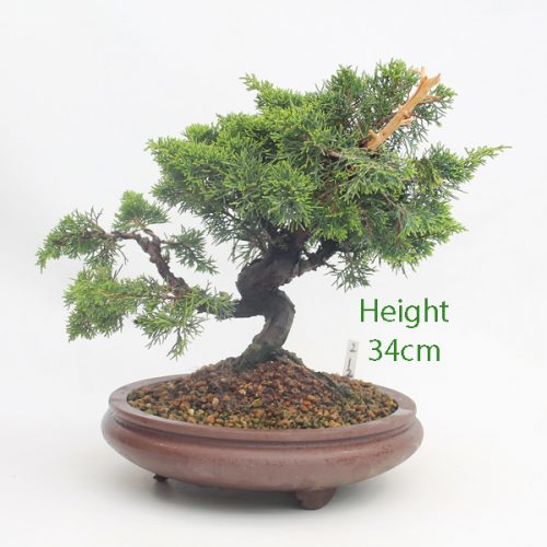 Chinese Juniper Bonsai Tree Number 212 available to buy online from All Things Bonsai Sheffield Yorkshire with free UK delivery