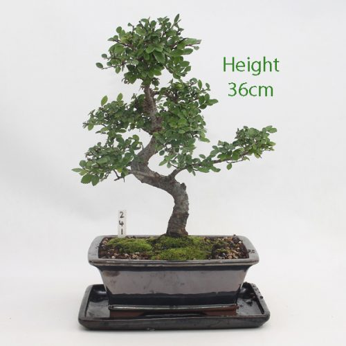 Chinese Elm Bonsai Tree Number 241 available to buy online from All Things Bonsai Sheffield Yorkshire with free UK delivery