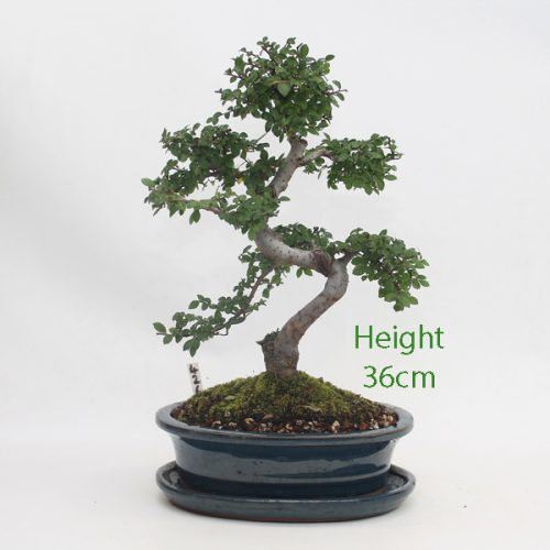 Chinese Elm Bonsai Tree Number 426 available to buy online from All Things Bonsai Sheffield Yorkshire with free UK delivery