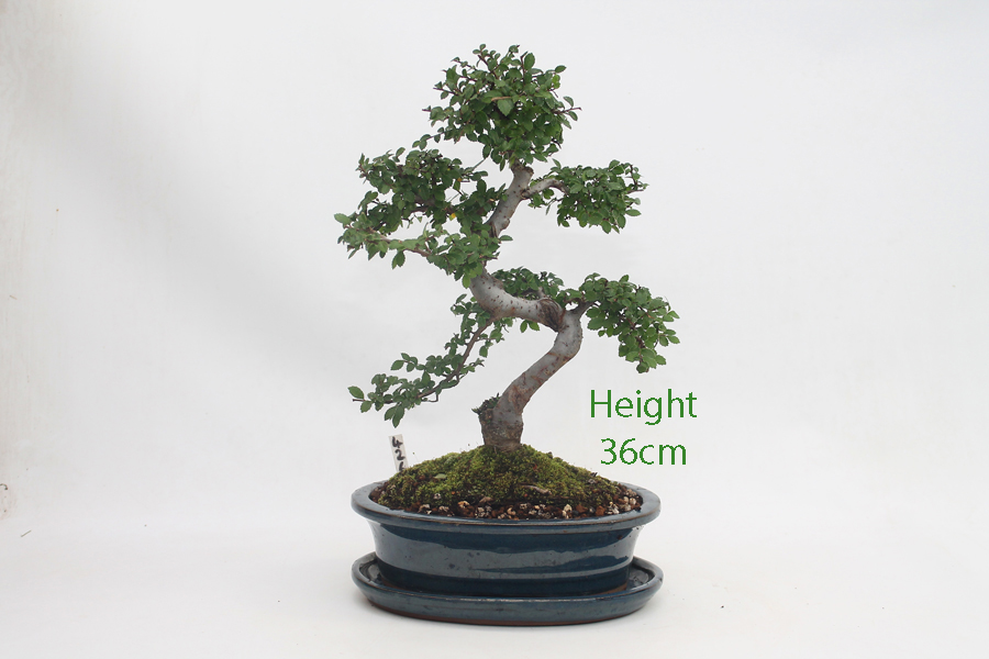 Chinese Elm Bonsai Tree Number 426