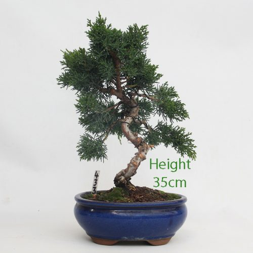 Chinese Juniper Bonsai Tree Number 433 available to buy online from All Things Bonsai Sheffield Yorkshire with free UK delivery