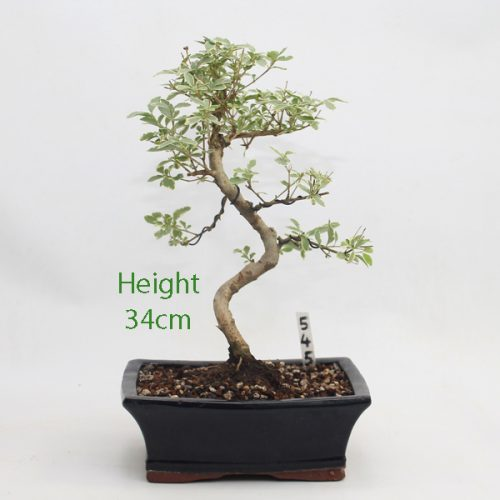 Variegated Ligustrum Bonsai Tree Number 545 available to buy online from All Things Bonsai Sheffield Yorkshire with free UK delivery