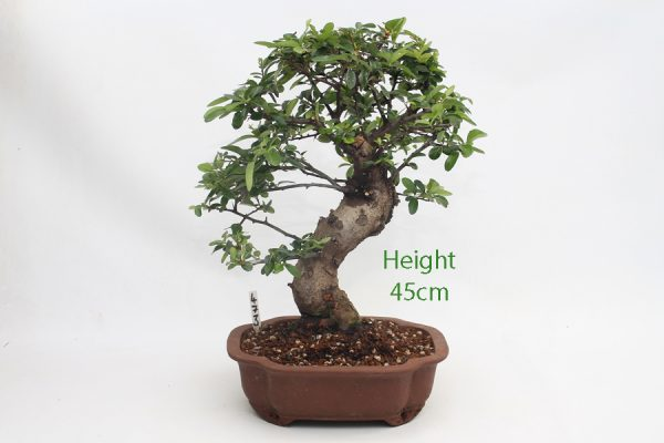 Pyracantha Flowering Bonsai Tree 473 available to buy online from All Things Bonsai Sheffield Yorkshire with free UK delivery