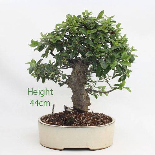 Pyracantha Flowering Bonsai Tree 451 available to buy online from All Things Bonsai Sheffield Yorkshire with free UK delivery
