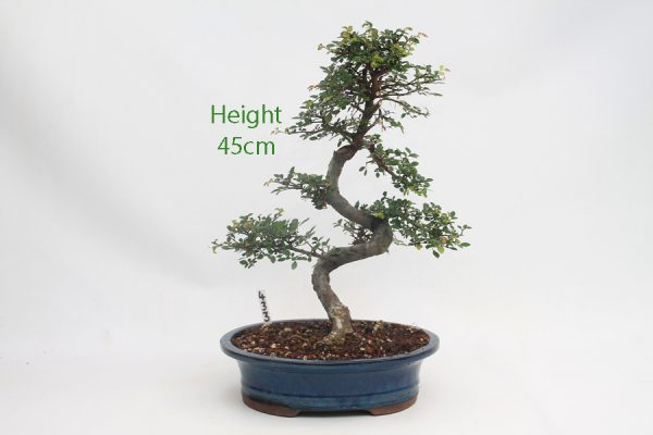 Chinese Elm Bonsai Tree Number 433 available to buy online from All Things Bonsai Sheffield Yorkshire with free UK delivery