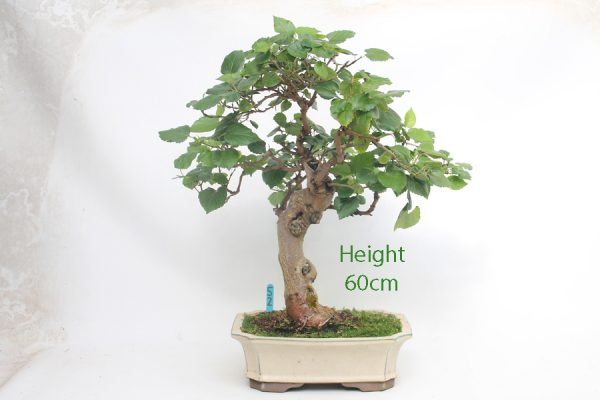 Mulberry Bonsai Tree Number 52 available to buy from All Things Bonsai Nursery Sheffield Yorkshire