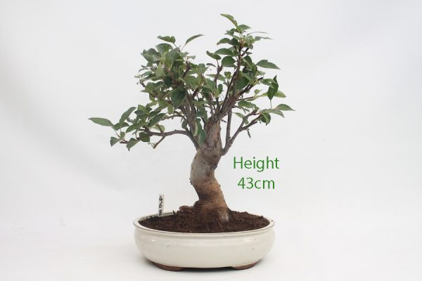 Crab Apple Flowering Bonsai Tree Malus Number 468 available to buy online from All Things Bonsai Sheffield Yorkshire with free UK delivery