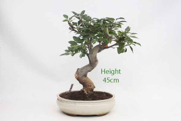 Crab Apple Flowering Bonsai Tree Malus Number 575 available to buy online from All Things Bonsai Sheffield Yorkshire with free UK delivery