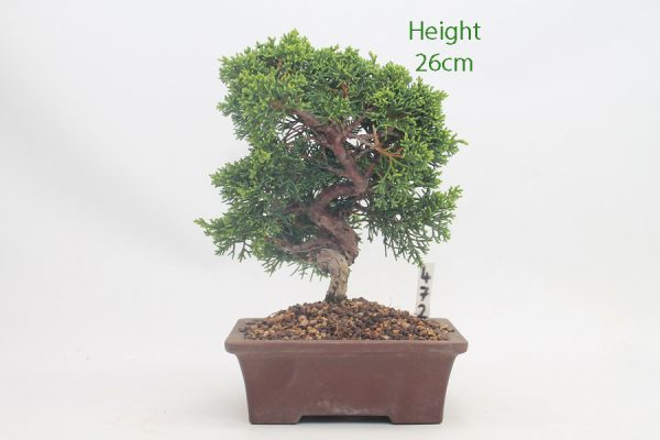 Chinese Juniper Bonsai Tree Number 472 available to buy online from All Things Bonsai Sheffield Yorkshire with free UK delivery