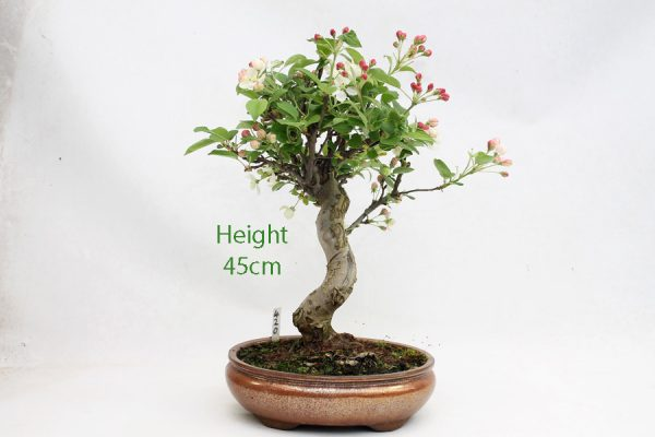 Crab Apple Flowering Bonsai Tree Malus Number 420 available to buy online from All Things Bonsai Sheffield Yorkshire with free UK delivery