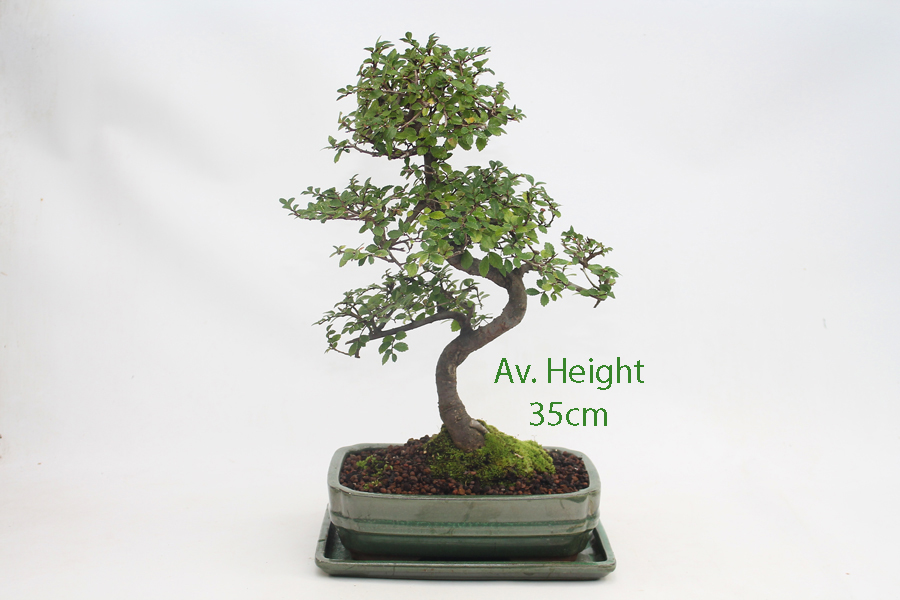 Green Pot Supplied with Care Set /& drip Tray Large Chinese Elm Bonsai Tree S Trunk