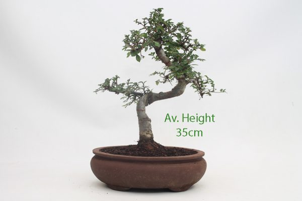 Chinese Elm Bonsai Tree Unglazed Pot available to buy online from All Things Bonsai Sheffield Yorkshire with free UK delivery