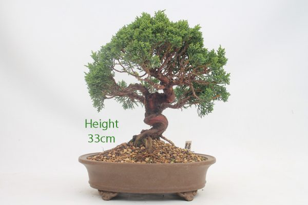 Chinese Juniper Bonsai Tree Number 88 available to buy online from All Things Bonsai Sheffield Yorkshire with free UK delivery