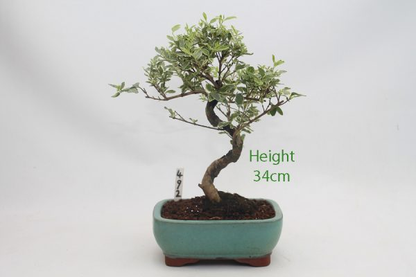 Variegated Ligustrum Bonsai Tree Number 492 available to buy online from All Things Bonsai Sheffield Yorkshire with free UK delivery