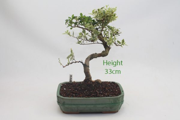 Variegated Ligustrum Bonsai Tree Number 338 available to buy online from All Things Bonsai Sheffield Yorkshire with free UK delivery