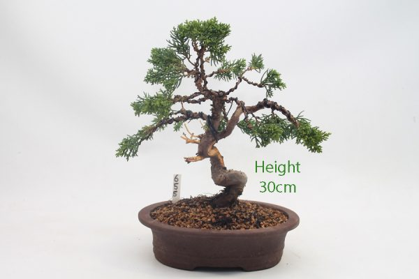 Chinese Juniper Bonsai Tree Number 655 available to buy online from All Things Bonsai Sheffield Yorkshire with free UK delivery