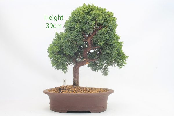 Chinese Juniper Bonsai Tree Number 311 available to buy online from All Things Bonsai Sheffield Yorkshire with free UK delivery
