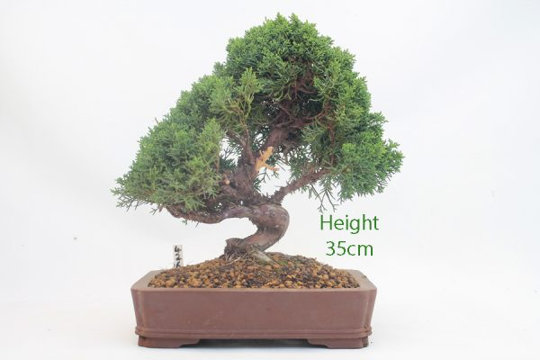 Chinese Juniper Bonsai Tree Number 426 available to buy online from All Things Bonsai Sheffield Yorkshire with free UK delivery