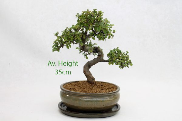 Chinese Elm Bonsai Tree Taupe Oval Pot And Tray available to buy online from All Things Bonsai Sheffield Yorkshire with free UK delivery