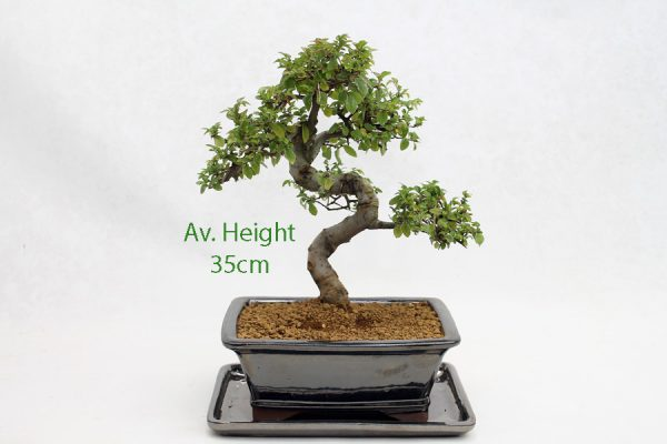 Chinese Elm Bonsai Tree Black Rectangle Pot And Tray available to buy online from All Things Bonsai Sheffield Yorkshire with free UK delivery