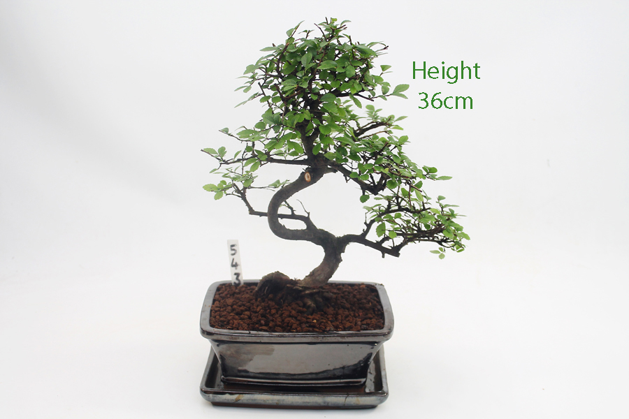 Chinese Elm Bonsai Tree Wiring