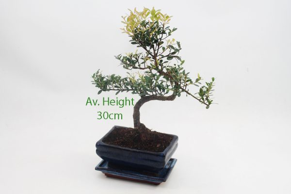 Syzygium Flowering Bonsai Tree 15cm Pot available to buy online from All Things Bonsai Sheffield Yorkshire with free UK delivery