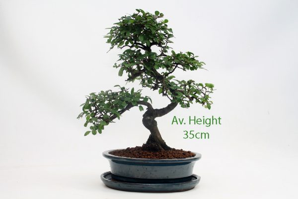 Chinese Elm Bonsai Tree Blue Oval Pot And Tray for sale online with free UK delivery from All Things Bonsai Sheffield Yorkshire