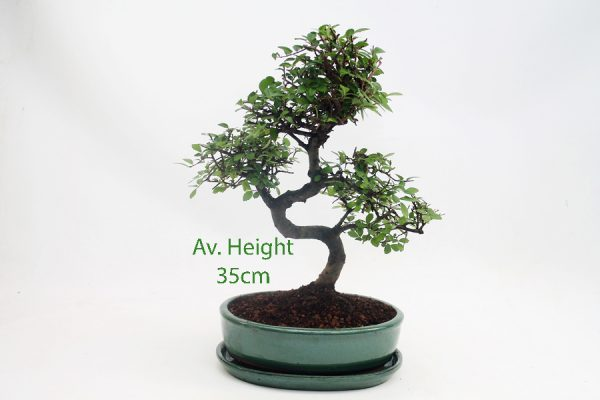 Chinese Elm Bonsai Tree Green Oval Pot And Tray available to buy online from All Things Bonsai Sheffield Yorkshire with free UK delivery