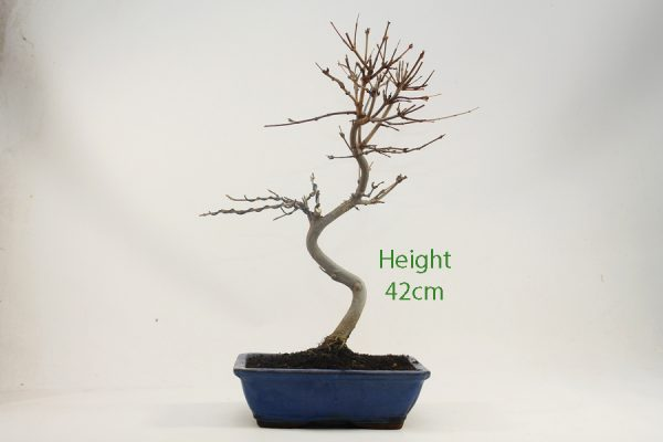 Trident Maple Bonsai Tree Number 528 available to buy online from All Things Bonsai Sheffield Yorkshire with free UK delivery