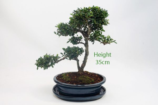 Japanese Holly Ilex Flowering Bonsai Tree Number 59 available to buy online from All Things Bonsai Sheffield Yorkshire with free UK delivery