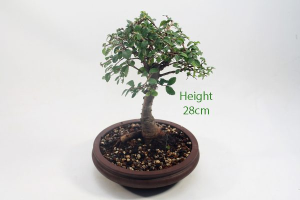 Broom Style Elm Bonsai Tree Number 544 available to buy online from All Things Bonsai Sheffield Yorkshire with free UK delivery