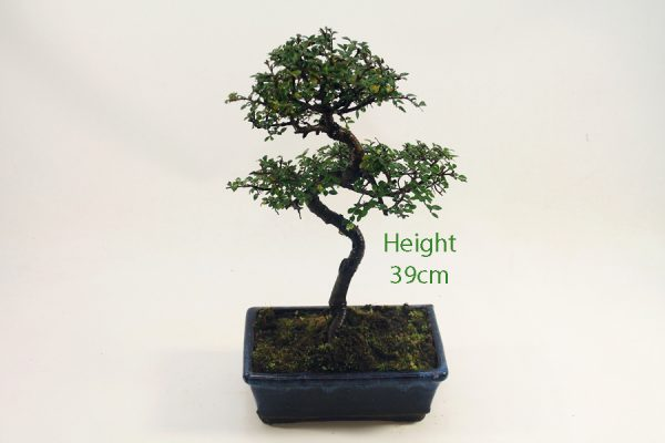 Chinese Elm Bonsai Tree Number 525 available to buy online from All Things Bonsai Sheffield Yorkshire with free UK delivery