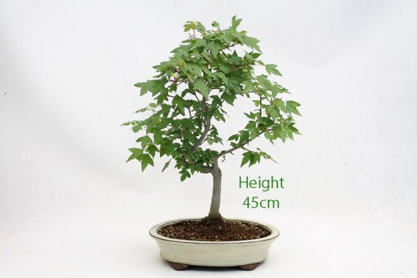 Trident Maple Bonsai Tree Number 312 available to buy online from All Things Bonsai Sheffield Yorkshire with free UK delivery