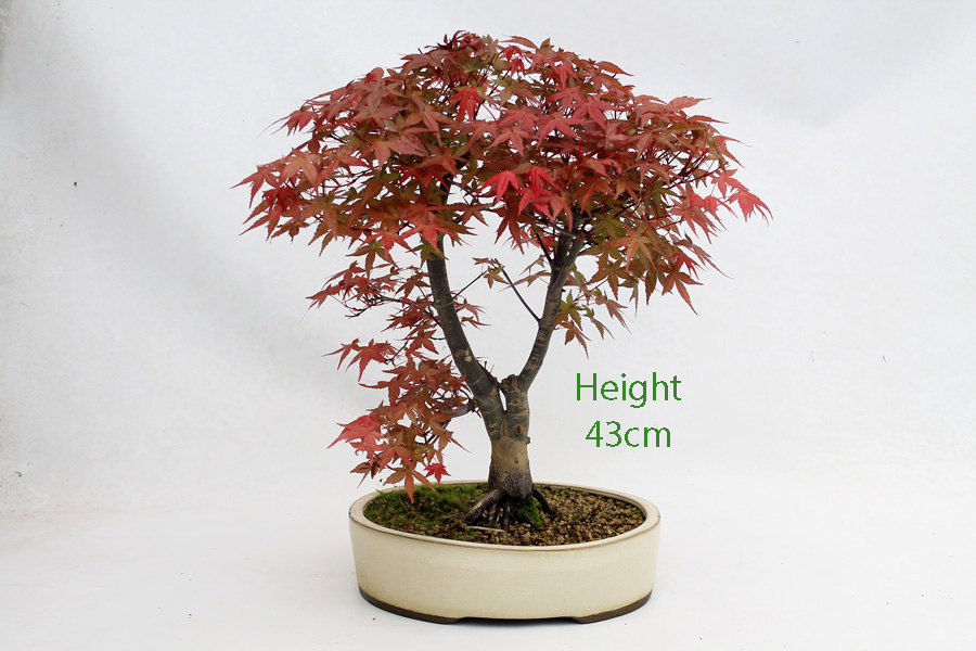 Acer Palmatum Deshojo Japanese Maple Bonsai Tree Number 54 All