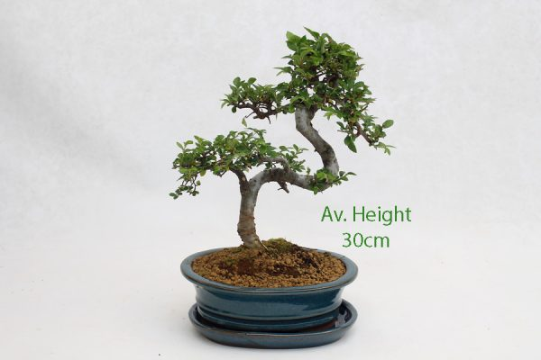 Small Elm Bonsai Tree Blue Oval Pot And Tray available to buy online from All Things Bonsai Sheffield Yorkshire with free UK delivery