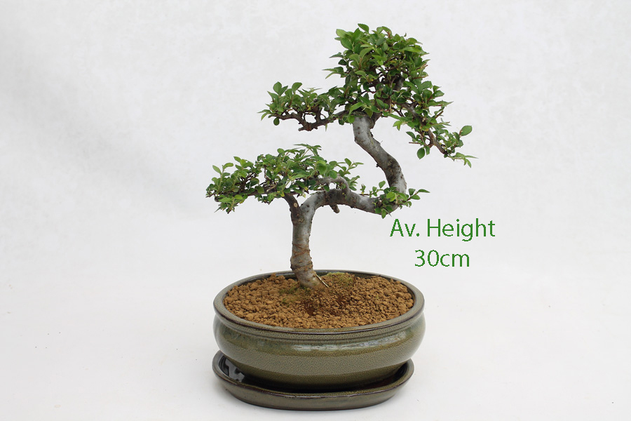 Small Elm Bonsai Tree Taupe Oval Pot And Tray available to buy online from All Things Bonsai Sheffield Yorkshire with free UK delivery