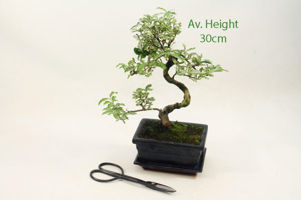 Variegated Ligustrum Bonsai Tree available to buy online from All Things Bonsai Sheffield Yorkshire with free UK delivery