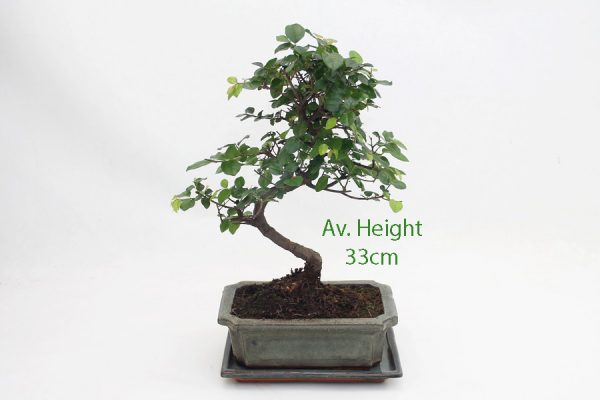 Sageretia Bonsai Tree Glazed Pot And Matching Tray available to buy online from All Things Bonsai Sheffield Yorkshire with free UK delivery