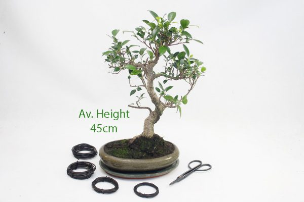 Ficus Bonsai Tree Small Oval Glazed Pot All Things Bonsai Sheffield Yorkshire with free UK delivery