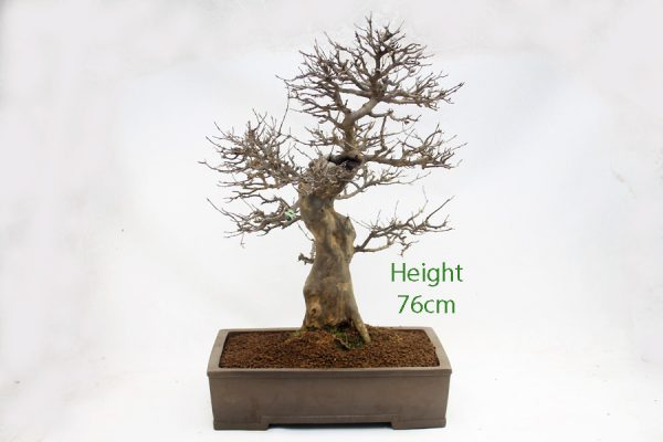 Trident Maple Bonsai Tree Number 467 for sale from All Things Bonsai Sheffield Yorkshire