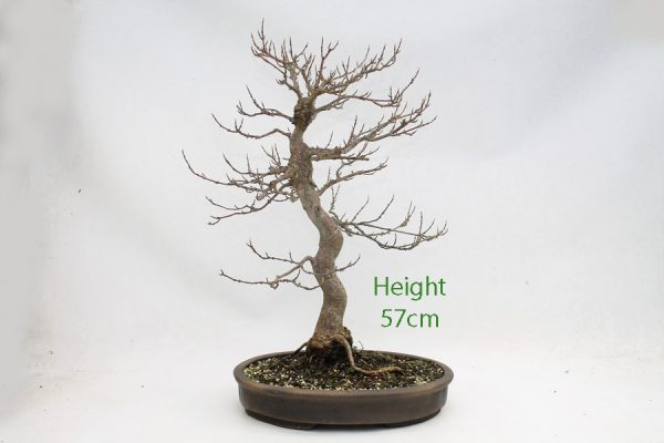 Trident Maple Bonsai Tree Number 447 available to buy online from All Things Bonsai Sheffield Yorkshire with free UK delivery