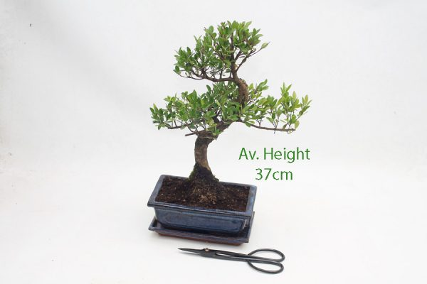 Syzygium Flowering Bonsai Tree 20cm Pot available to buy online from All Things Bonsai Sheffield Yorkshire with free UK delivery