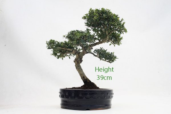 Japanese Holly Ilex Flowering Bonsai Tree Number 633 available to buy online from All Things Bonsai Sheffield Yorkshire with free UK delivery